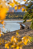 Brown bear sow and cubs along the shore of Naknek lake, Katmai National Park, Alaska.