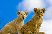 South Africa-Johannesburg-Lion Park-Lion Cubs