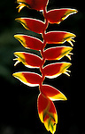 Helicona Flower, Belize, rainforest, backlight red and yellow.Belize....