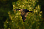 Cormorant Sunset Flight Double-crested Cormorant Sepulveda Wildlife Refuge Southern California