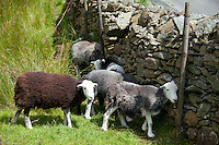 Traditional Herdwick sheep sheltering by drystone wall at Langdale in the Lake District National Park, Cumbria, UK