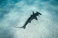 RR1883-D. Great Hammerhead Shark (Sphyrna mokarran), feeds on stingrays on the sand bottom, broad head has special sensory cells on underside. Bahamas, Atlantic Ocean.<br /> Photo Copyright &copy; Brandon Cole. All rights reserved worldwide.  www.brandoncole.com