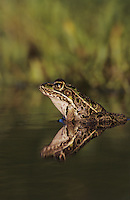 Southern Leopard Frog, Rana utricularia, adult, Willacy County, Rio Grande Valley, Texas, USA, May 2004