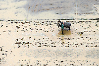 A farmer in a rice field with a water buffalo. /Felix Features