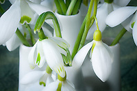 Galanthus snowdrops bulbs flowers iin vase picked, mixture of varieties