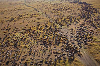 Aerial view of Eastern White-bearded Wildebeest migrating herd (Connochaetes taurinus albojubatus), Maasai Mara National Reserve, Kenya.
