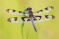 A male Banded Pennant (Celithemis fasciata) dragonfly perches on vegetation in Harriman State Park, Stony Point, Rockland County, New York