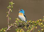 Lazuli Bunting (Passerina amoena) male singing, Mono Lake Basin, California,USA