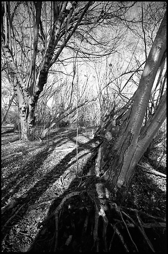 Shadowed Tree III, Thorndon Woodland, Suffolk by Paul Cooklin