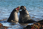 Bull elephant seals play fight
