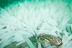 La Jolla Underwater Ecological Reserve, La Jolla, California; a single Slender Cancer Crab (Cancer gracilis) sitting in a large bed of Common Squid egg casings on the sandy bottom