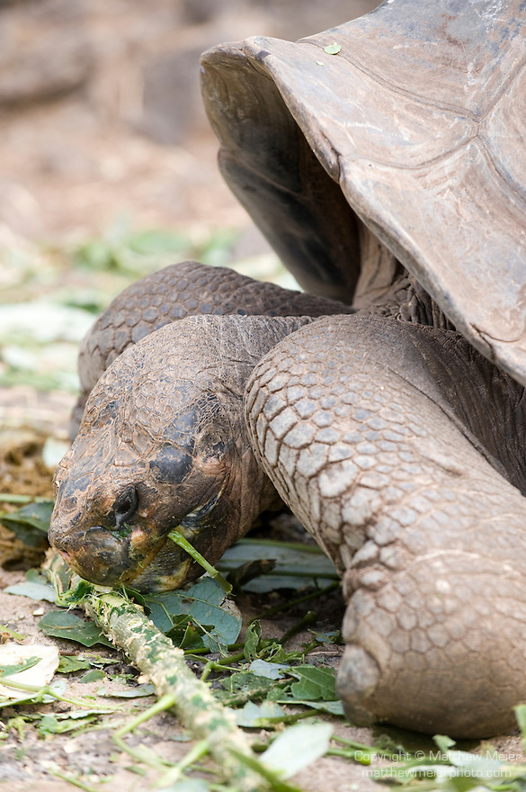 Charles Darwin Research Station, Puerto Ayora, Santa Cruz Island, Galapagos, Ecuador; large, adult, male Galapagos Giant Tortoise (Geochelone elephantopus) feeding and living together at the Charles Darwin Research Station , Copyright © Matthew Meier, matthewmeierphoto.com All Rights Reserved