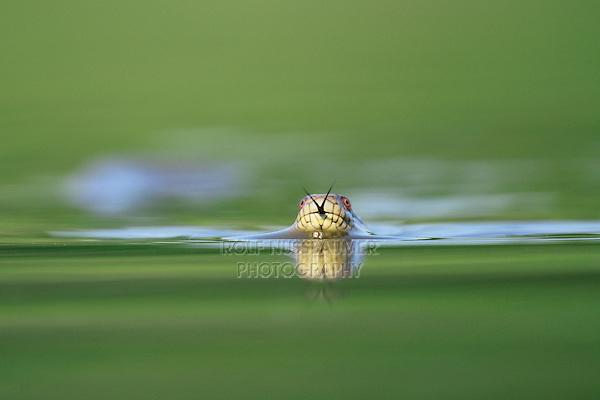 Diamondback water snake (Nerodia rhombifer rhombifer), adult swimming in lake, Dinero, Lake Corpus Christi, South Texas, USA