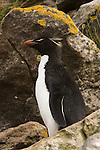 A rockhopper penguin among the rocks of West Point Island in the Falkland Islands.