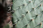 Opuntia, Prickly pear cactus at the Santa Barbara Botanic Garden, Santa Barbara, California, USA
