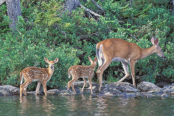 a Pair of Red Tail Deer Fawns