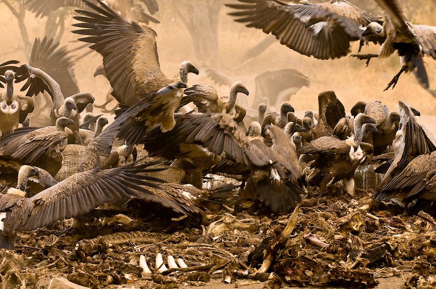 African White-backed Vultures, Hoedspruit Endangered Species Centre, near Kruger National Park, South Africa