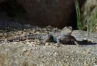 425900029 a wild great basin fence lizard sceloporus occidentalis longipes near keogh hot springs inyo county california