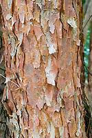 Pinus densiflora pine tree trunk bark, conifer evergreen