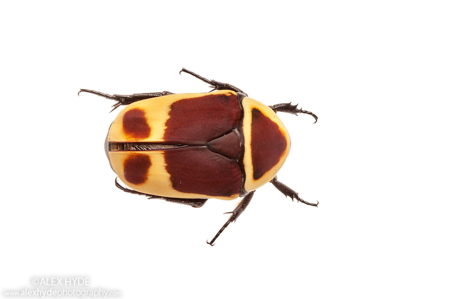 Sun Beetle {Pachnoda marginata peregrina} photographed on a white background. Captive, originating from west and central Africa