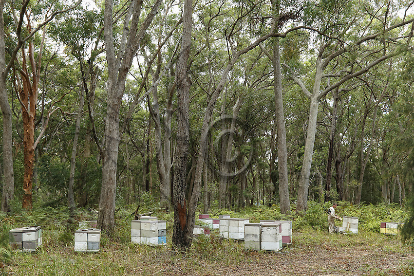 An apiary in a forest of eucalyptus. The eucalyptus, of the Myrtacea family, originated in Australia where the moreover dominate 95% of the forests with more than six hundred varieties. Their height varies from a few meters to nearly 90 meters. With the eucalyptus, it is quite easy to foresee the blooming period by looking at the buds but not all the trees flower every year and knowledge of the varieties and the blossoming cycles linked to pluviometry is essential. (Some varieties only flower when they are adults).///Un rucher dans une forêt d'eucalyptus. Les eucalyptus, de la famille des Myrtacea sont originaires d'Australie où ils dominent d'ailleurs 95% des forêts avec plus de six cents espèces. Leur taille varie de quelques mètres à près de 90 mètres. Avec l'eucalyptus, il est assez facile de prévoir les floraisons en regardant les bourgeons mais tous ne fleurissent pas tous les ans et la connaissance des espèces, des cycles de floraisons liés à la pluviométrie est essentiel. (Certaines espèces fleurissent seulement à l'âge adulte).