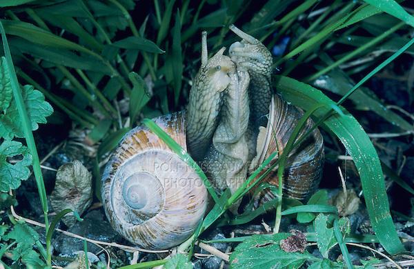 Roman Snail, Escargot, Helix pomatia, pair mating, Zug, Switzerland, May 1995