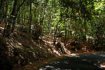 Laura silva trees in the forest, La Gomera, Canary Islands, Spain