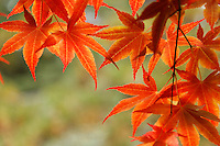 Red Japanese Maple leaves in autumn foliage, Mount Desert Island, Acadia National Park, near Bar Harbor, Maine, USA