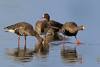 537260002 wild greater white-fronted geese anser albifrons at colusa national wildlife refuge califonia