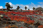 South America, Ecuador, Galapagos Islands. Landscape of South Plaza Island.