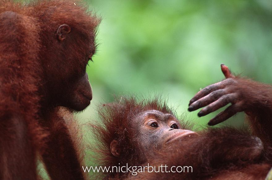 Young Bornean Orang-utans (Pongo pygmaeus) studying hand, Sepilok Rehab, Sabah Borneo