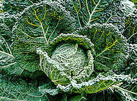 A perfect head of deeply wrinkled Green Gem savoy cabbage.