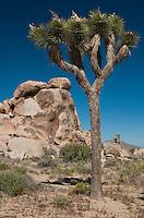 141280014 johsua tree yucca brevifolia grows in joshua tree national park san bernardino county california united states