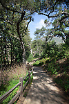 Quercus agrifolia, common name: coast live oak, lines a path through the Santa Barbara Botanic Garden; Santa Barbara; Santa Barbara County; California; CA; USA