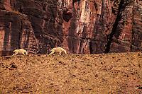 Glacier Goats