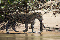 Jaguar (Panthera onca) with Capybara kill, Pantanal, Brazil