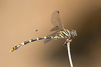 360270020 a wild female four-striped leaftail dragonfly phyllogomphoides stigmatus perches on a stick with a fly hovering nearby along the guadalupe river independence park gonzales gonzales county texas