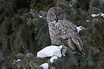 A great gray owl perches in a snowy conifer in Jackson Hole, Wyoming.