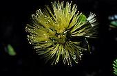 Ohia Lehua flower, Metrosideros polymorpha, Molokai