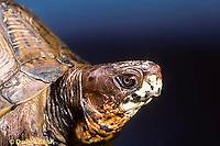 1R07-042z  Eastern Box Turtle - close-up of head - Terrapene carolina.