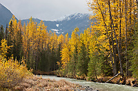 Golden autumn leaves along a river drainage in the Kenai mountains, Chugach National Forest, Kenai Peninsula, southcentral, Alaska.