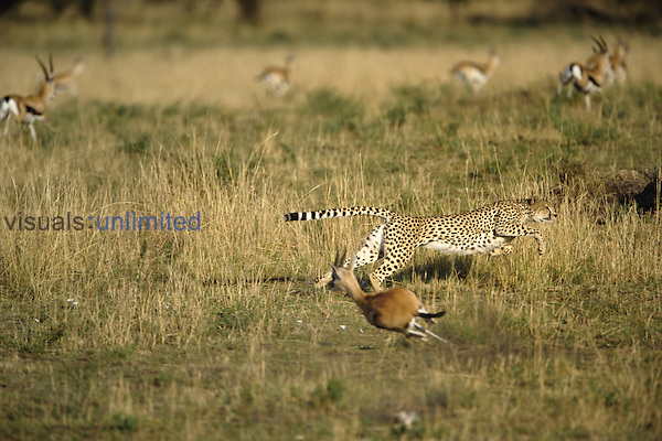 Cheetah (Acinonyx jubatus) in pursuit of Thomson's Gazelle, Serengeti National Park, Tanzania, Africa.