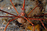 Arrowcrab with Eggs