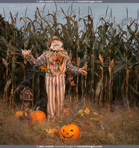 Scarecrow and pumpkins in a corn field. Halloween theme.