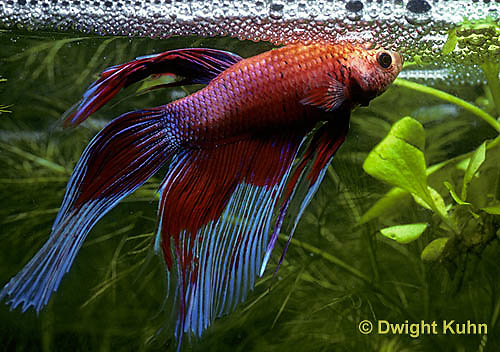 BY03-069z  Siamese Fighting Fish - male making protective bubble nest for eggs - Betta splendens
