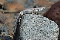 438500002 a wild desert iguana dipsosaurus dorsalis perches on a rock in darwin canyon inyo county california