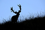 Big Mule Deer Buck at Sunset