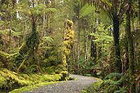 Walking track through lush rainforest at Lake Matheson near Fox Glacier, Westland Tai Poutini National Park, West Coast, South Westland, UNESCO World Heritage Area, New Zealand, NZ