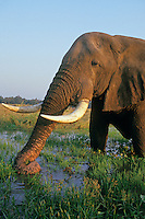 African Elephant bull (Loxodonta africana) feeding in or near Zambezi River, Mana Pools National Park, Zimbabwe.