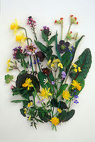 Helleborus Studio shot of hellebore cut flowers with spring daffodils Narcissus, Pulmonaria, chard foliage leaves, etc, on white background